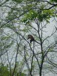 Howler Monkey!